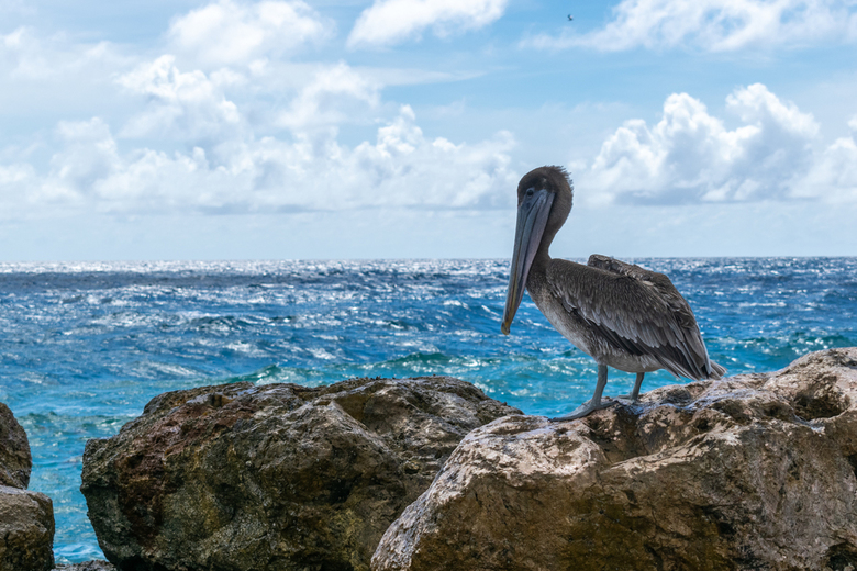 Pelikaan - Curacao -