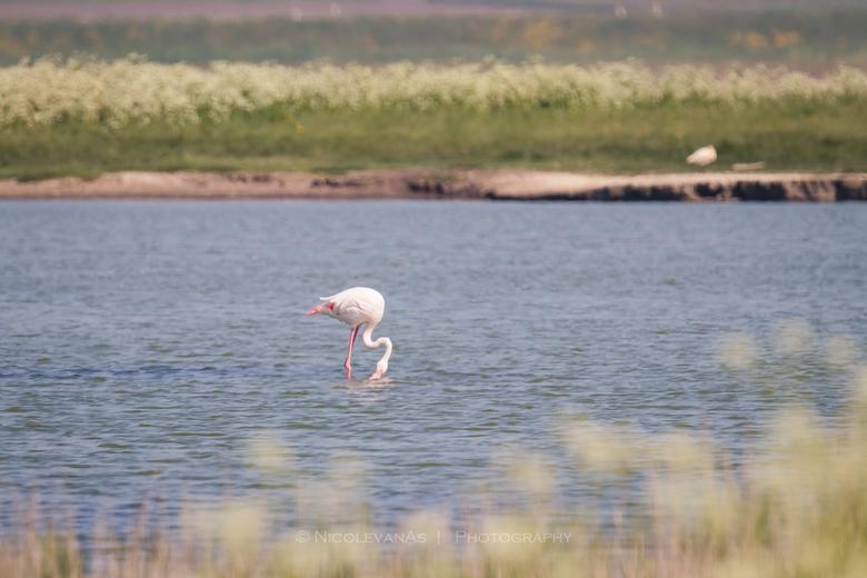 Verdwaald - Geen dierenpark, geen gevangenschap.  In de natuur op Texel spotte ik deze eenzame Flamingo.