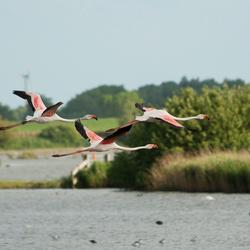 Flamingo's in de vlucht