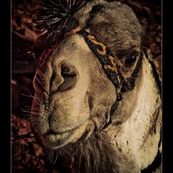 Sinai kameel