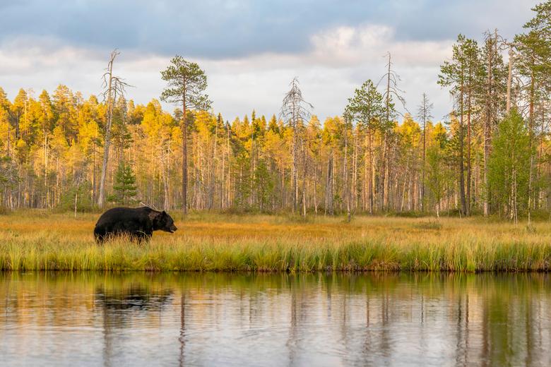 Wild Brown Bear. - Europese bruine beer in zijn natuurlijke omgeving in Finland.<br /> De ondergaande zon geeft de bomen op de achtergrond een warme