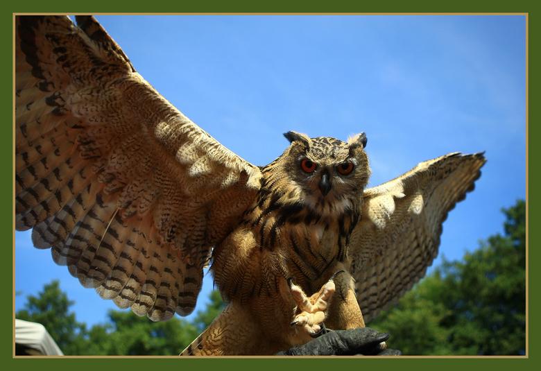 Oehoe - Een oehoe die komt aan vliegen. Het lijkt net of hij me een hand wil geven met zijn poot.