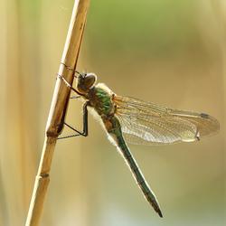 Smaragdlibel