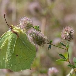 Gonepteryx Rhamni (Citroenvlinder)
