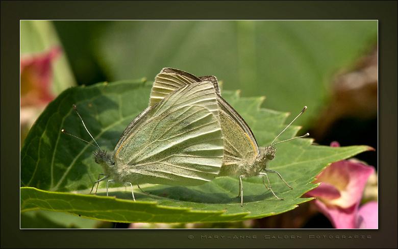 Butterfly Love - Als eerste wil ik iedereen nog even bedanken voor de mooie, leuke en fijne reacties en complimenten op mijn Japie Sprinkhaan en Verst
