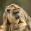 hoe heet deze aap