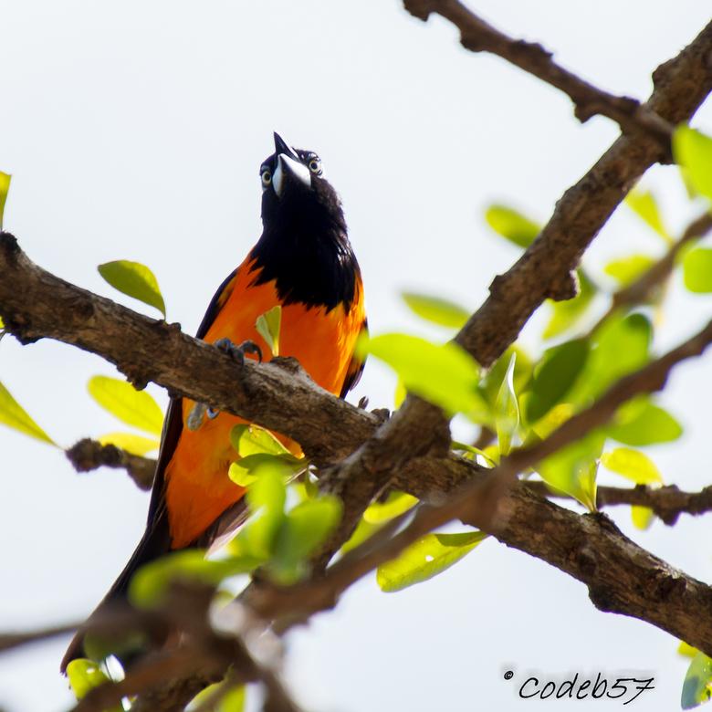 Troepiaal Vogel - De Troepiaal vogel<br /> <br /> De Troepiaal is ongeveer 19 cm groot en heeft hoofdzakelijk de kleur geel of oranje. De rug en de