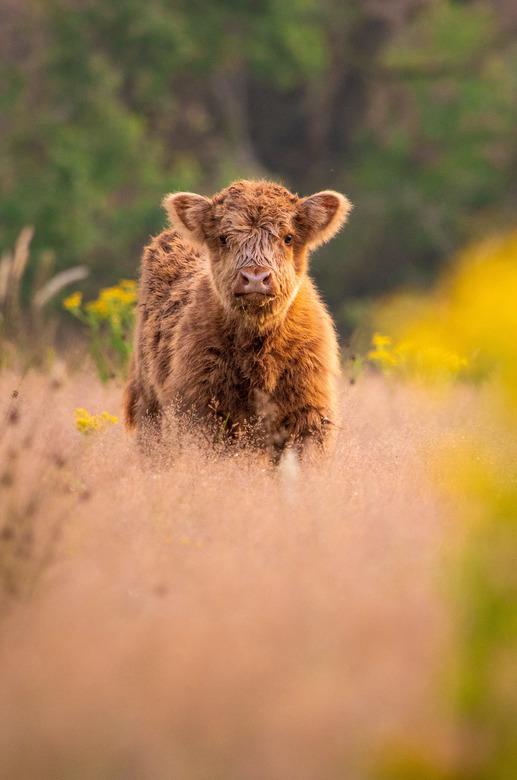 Schotse hooglander kalf  -