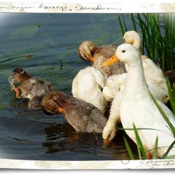 Eendenfamilie