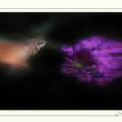 Kolibrievlinder(Macroglossum stellatarum)