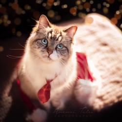 Meowrry Christmas!