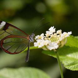 Glasvleugel Vlinder.