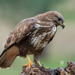 Buizerd Close up 2