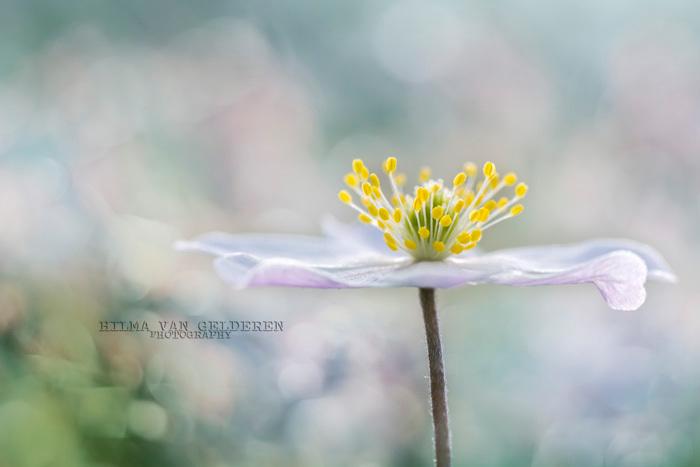 Droom - Elk jaar kijk ik enorm uit naar de bloei van dit bloemetje.<br /> Vanmorgen was het zover, ze bloeit weer!<br /> Samen met 2 fotomaatjes op