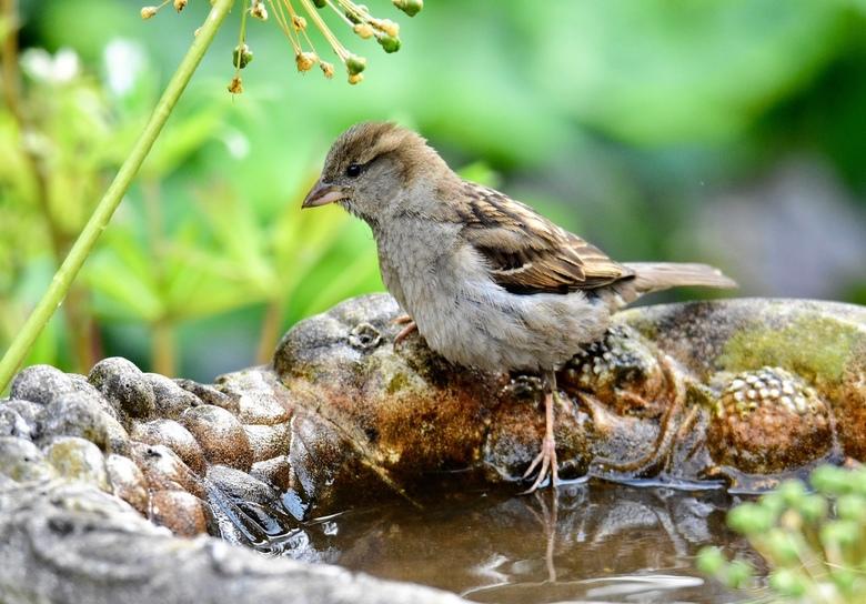 Koudwatervrees.. - Dit jonge musje moest effe de temperatuur voelen zo te zien..een waterbad in de tuin is voor alle vogels een dankbare waterbron. Om