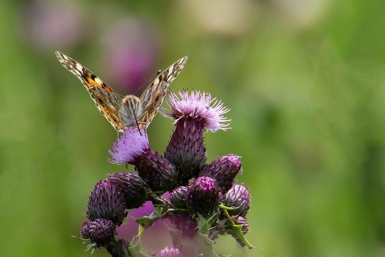 Distelvlinder(2) - Na de gehavende distelvlinder,die ik gisteren liet zien een intacte vlinder vanaf de onderzijde gefotografeerd<br /> op de distelb
