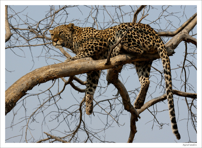 Luipaard in boom | Dieren foto van kasangua | Zoom.nl