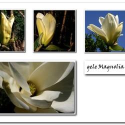 gele Magnolia collage