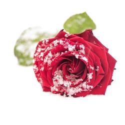 Roos in de sneeuw