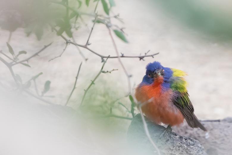Kleurige purpergors man - Ook in de Desert van Burgers' Zoo deze kleurrijke purpergors man. Als je hem nog nooit hebt gezien zou je bijna denken