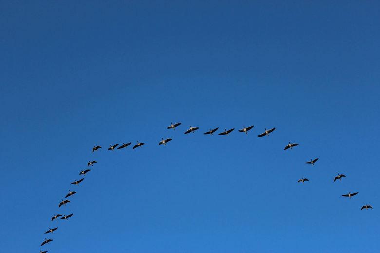 ganzen in vlucht - 2015 01 30 (68)  -ganzen in vlucht- <br /> Soms vliegen ze pal boven je hoofd over. Veranderen van plaats in de rij en ook de vorm