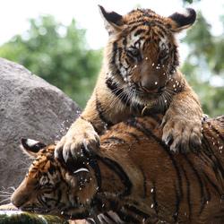 Thaise tijgers