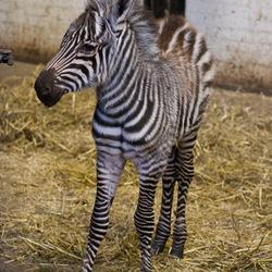 jonge Zebra