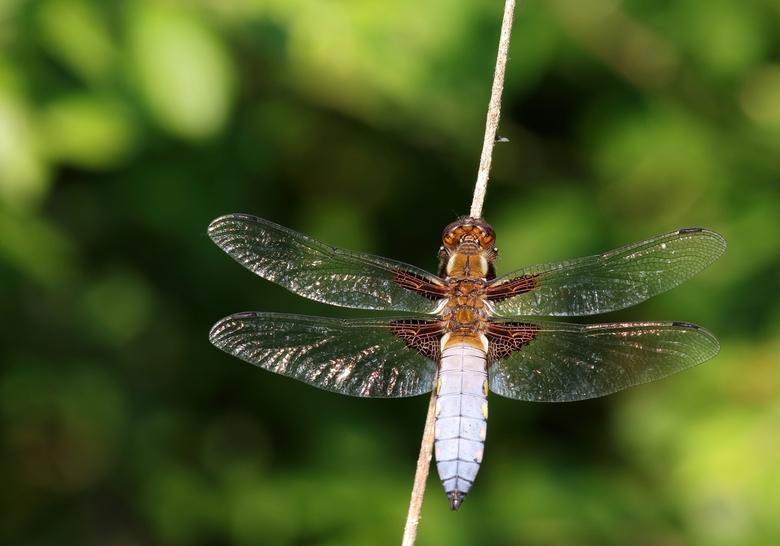 Ragfijne vleugels
