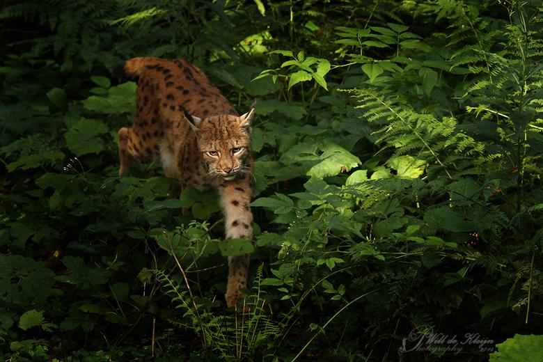 """Lynx (gevangen in licht) - <a href=""""http://www.willdekleijn.nl/"""">http://www.willdekleijn.nl/</a>"""