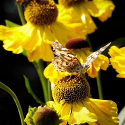 Distelvlinder op Zonnehoed