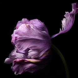tulipa lila
