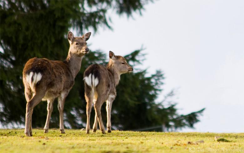 Twee reën in de eifel - Deze twee reetjes liepen gezel in het prachtige landschap van de eifel.<br /> Maar oplettend waren ze.<br /> Net op dit mome