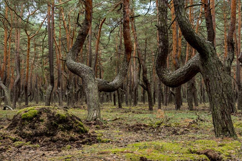 KBH bizar bos - Afgelopen zomer waren we een week in Königsbrücker Heide. Een veld vol kromme bomen en niemand om je te vertellen hoe ze aan deze vorm