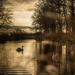 Swans in sunset 2