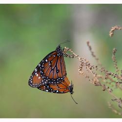 Monarch x 2