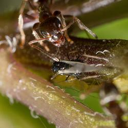 Ant...