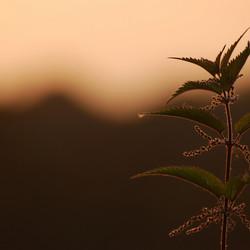 nettle in sunset