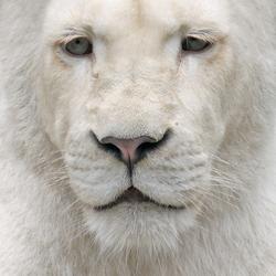 White Lion.