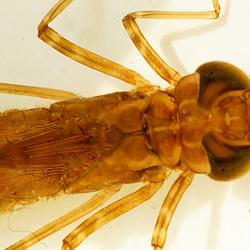larve van Grote Keizerlibel, detail bovenstuk en kop, 2015