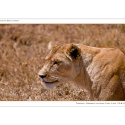 Lion Serengeti NP I