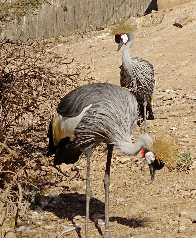 Kroonkraanvogels