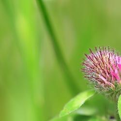 klaver bloem
