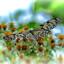 Zwart witte vlinder uit Azie