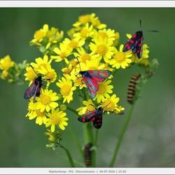 Meerdere generaties.... Vlinders en Rupsen