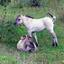 Jonge Koninkspaarden langs de Maas