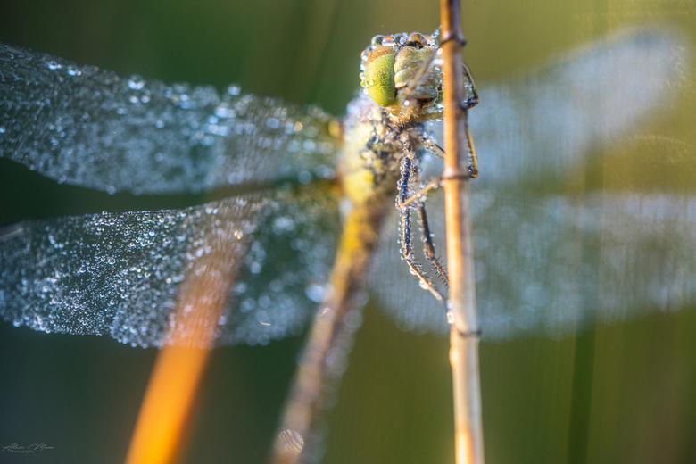 Dragonfly - Libel met dauwdruppels