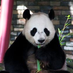 Reuze panda Ouwehands