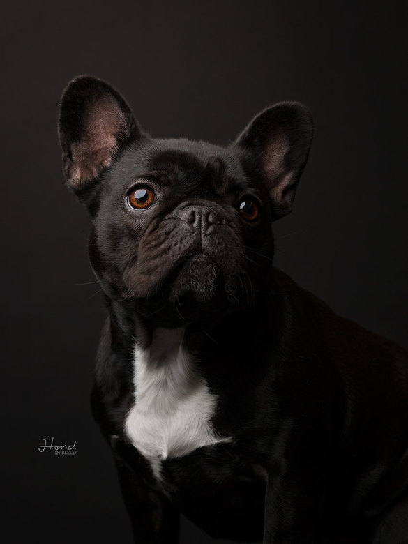 Black bulldog -