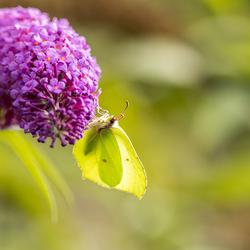 Citroenvlindertje