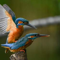 Paring ijsvogels- the kingfisher